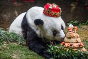 A murit Basi, cel mai batran urs panda din lume. Cati ani avea