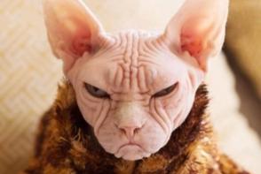 Imaginea zilei! Asa arata cea mai suparata pisica din lume - FOTO